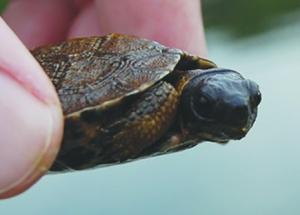 AQUA wood turtle